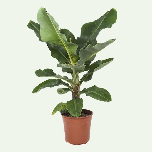 Bananenplant Musa populaire plant