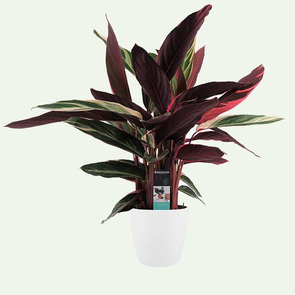 Decorum Calathea Triostar met Elho brussels white uitgelicht populaire plant
