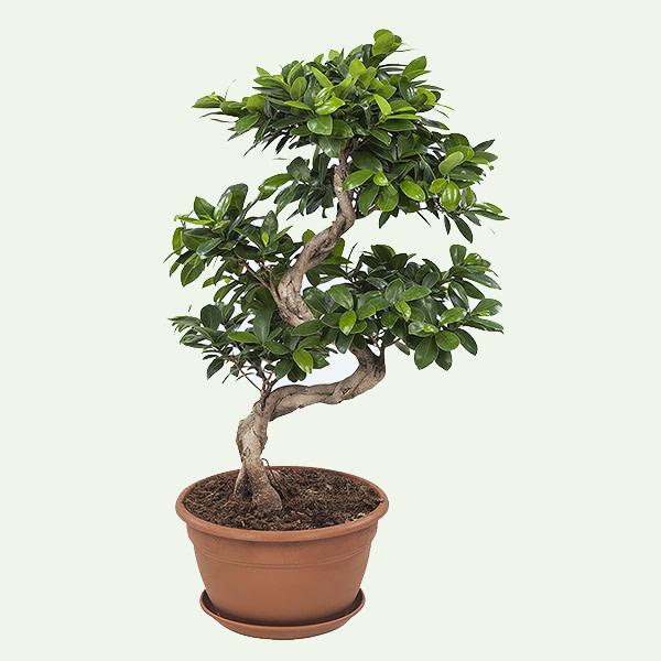 Ficus Gin Seng Bonsai populaire plant