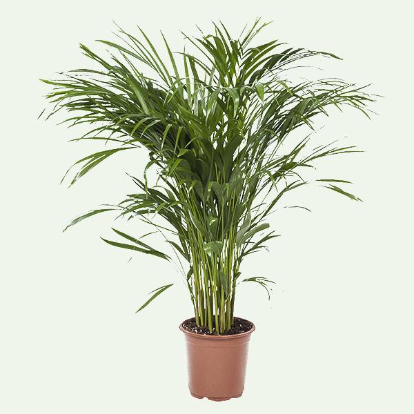 Uitgelichte plant acrea goudpalm populaire plant